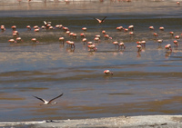 flying flamingos in laguna morejon San Antonio, Potosi Department, Bolivia, South America