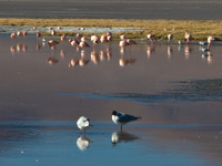 flamingos and black birds Laguna Colorado, Potosi Department, Bolivia, South America
