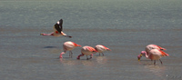 view--flying flamingo Laguna Colorado, Potosi Department, Bolivia, South America