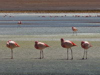 flamingo team Laguna Colorado, Potosi Department, Bolivia, South America