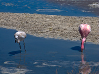 mother and baby flamingo Laguna Colorado, Potosi Department, Bolivia, South America