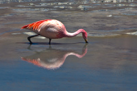 view--reflection of flamingo Laguna Colorado, Potosi Department, Bolivia, South America