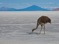 emu of isla del pescado Salar de Uyuni, Potosi Department, Bolivia, South America
