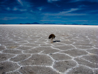 view--emu in salar de uyuni Salar de Uyuni, Potosi Department, Bolivia, South America