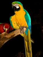 20090930171920_blue-and-yellow_macaw