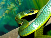 view--two-keeled whipsnake Sao Paulo, Sao Paulo State, Brazil, South America