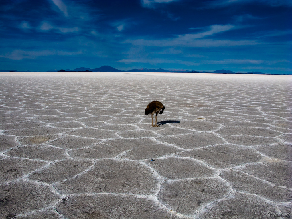 view--emu in salar de uyuni