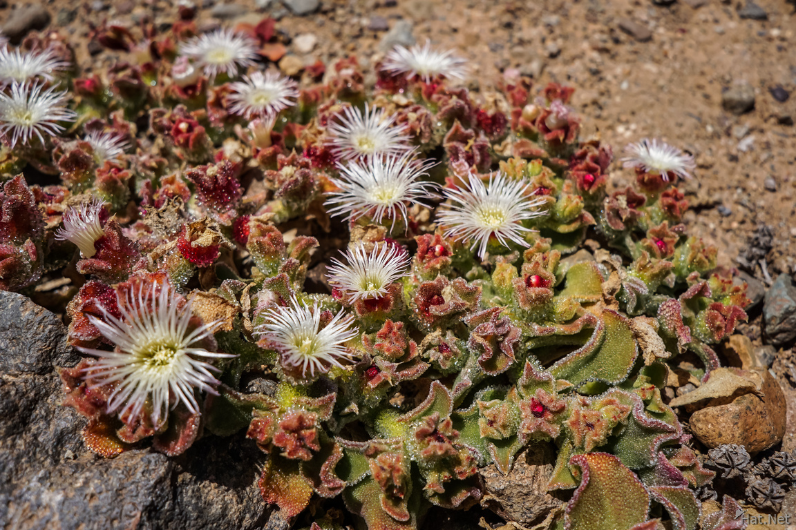 Flowers of Blooming desert