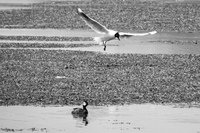 20151003131021_andean_gull_flying