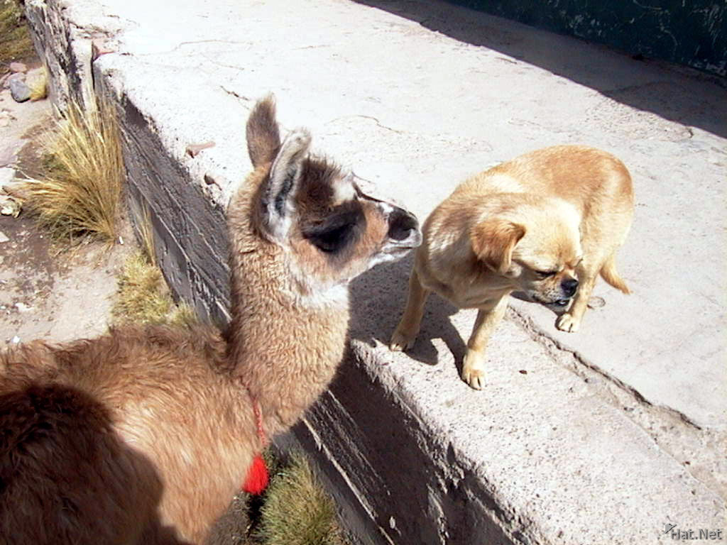 little llama seducing little puppy